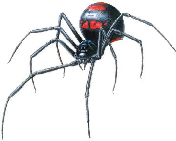 Black Widow Spider 9